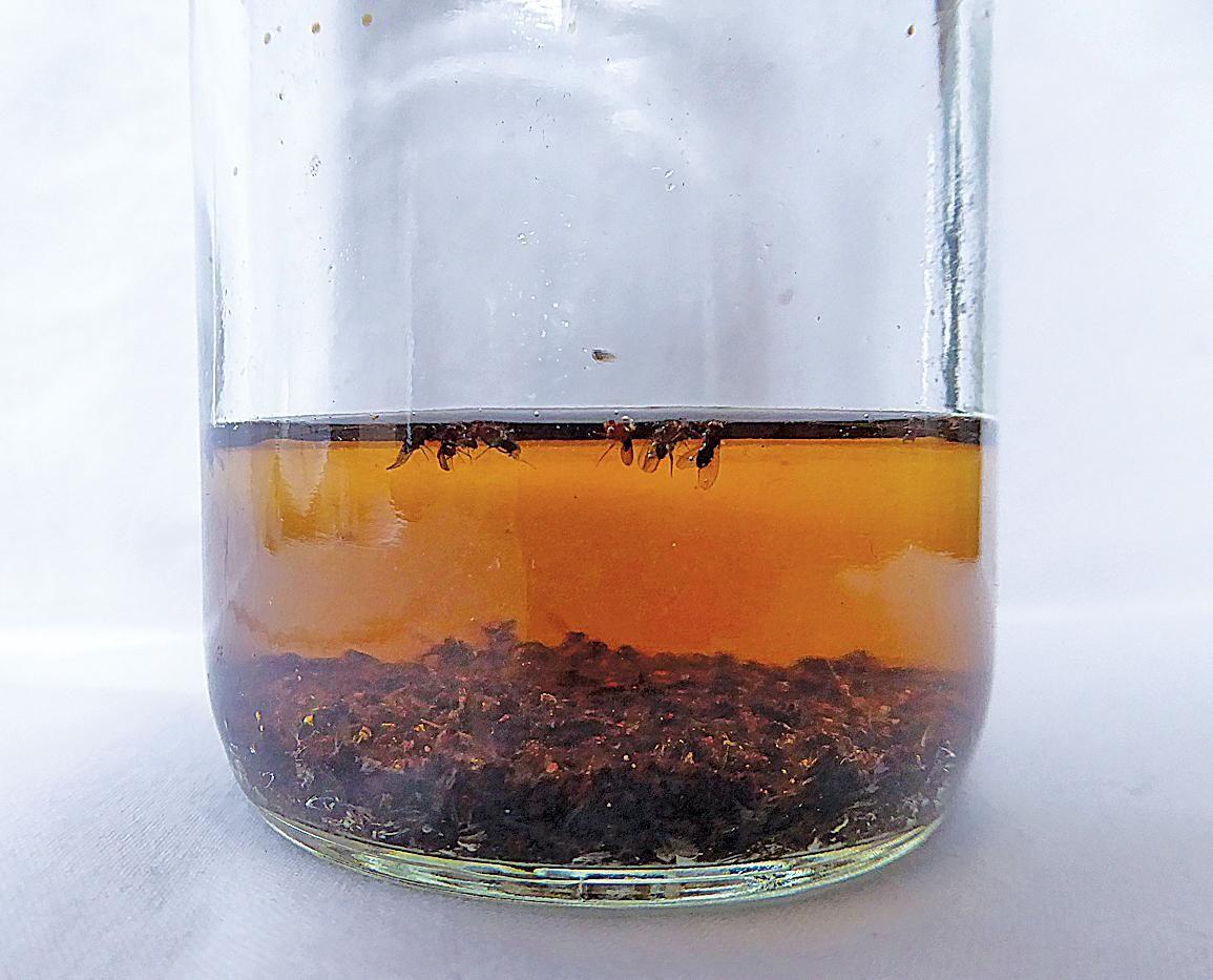 Homemade pest traps homemade fruit fly trap fruit fly