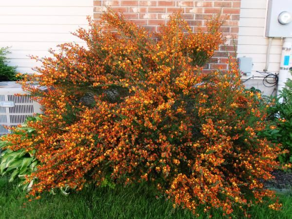 Here Is That Witches Broom Bush 4x4 Feet At Least Planting Flowers Home Landscaping Bushes Shrubs