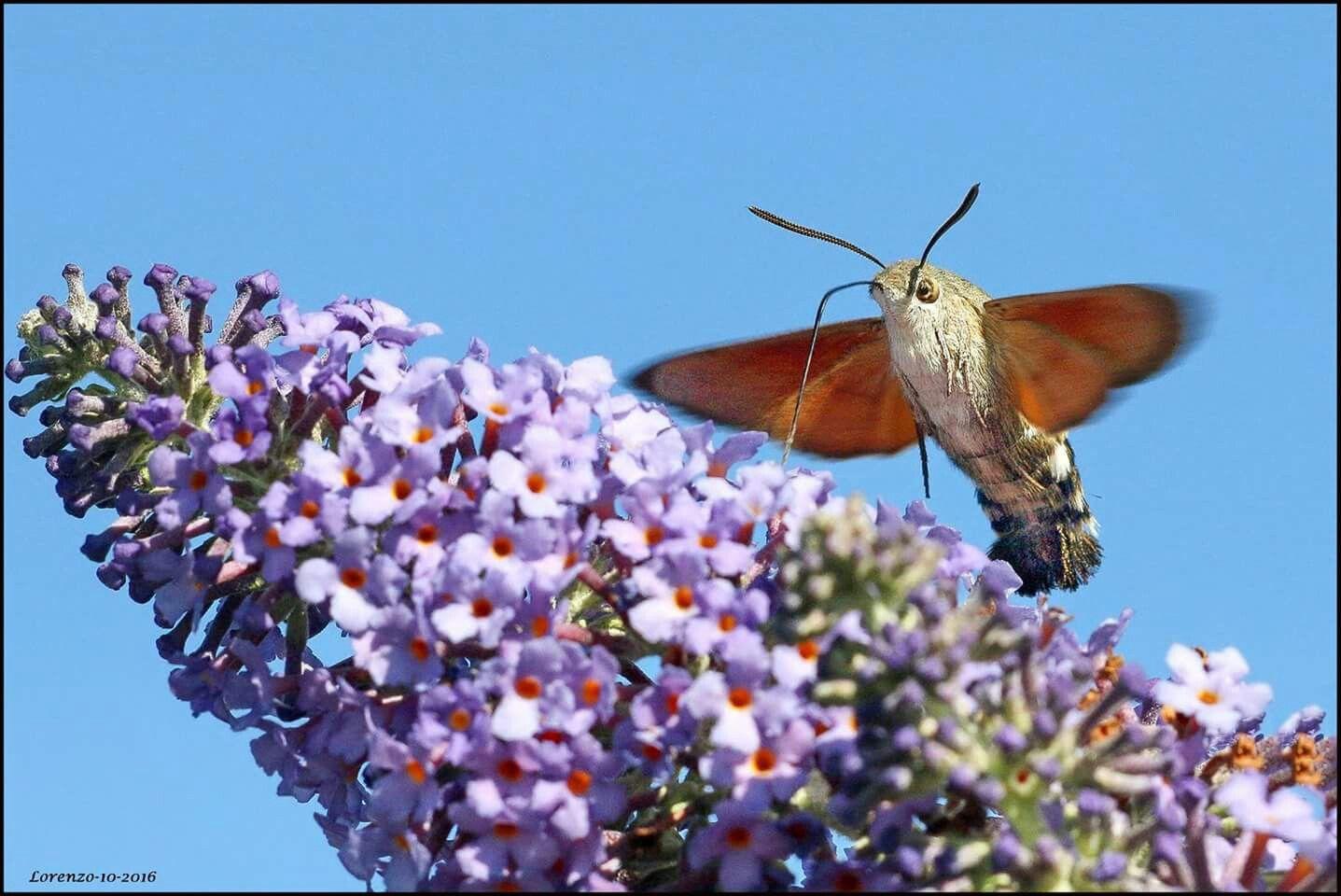 En ik die dacht dat de kolibrie vlinder van 14 dagen geleden de laatste was ,naar neen zondag (16-10-2016) was hij er weer !!
