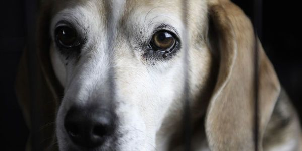 Petition Stop The Beagle Puppy Animal Testing Breeding Facility