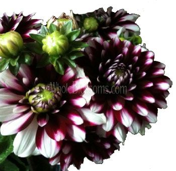 Bicolor Dark Purple Dahlias, 30 stems wholesale real flowers $125