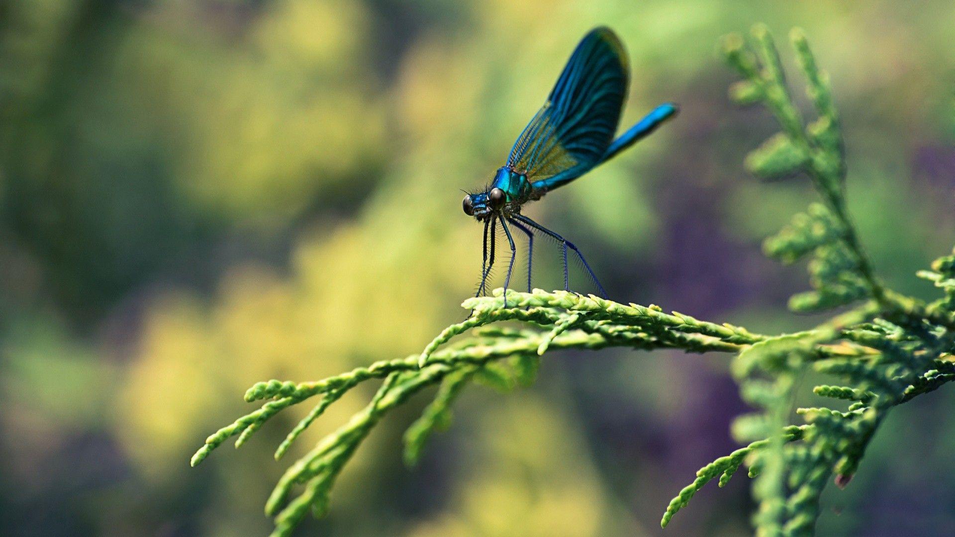 macro wallpaper | blue dragonfly macro wallpaper - new hd