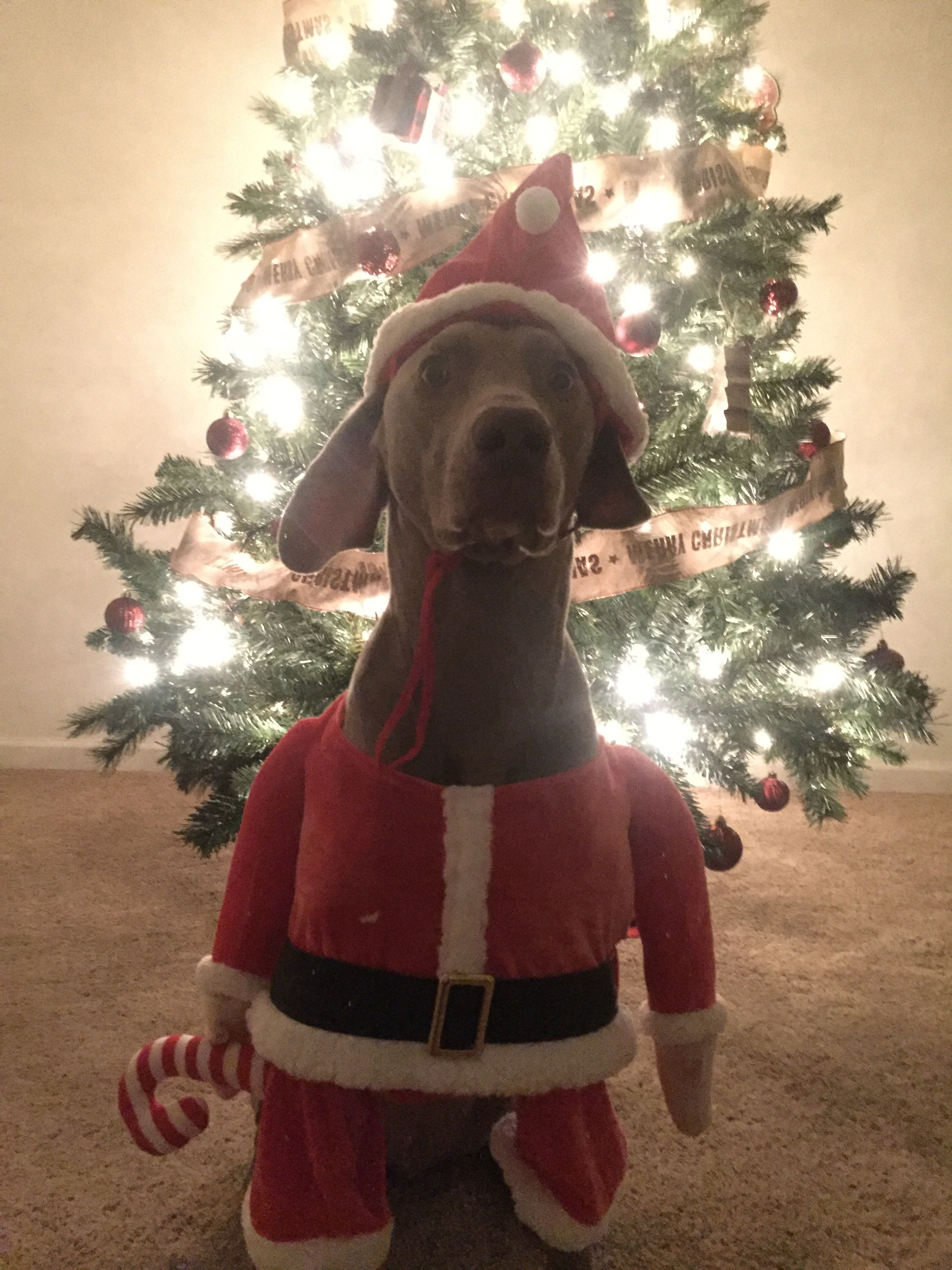 Christmas Weimaraner dog photo