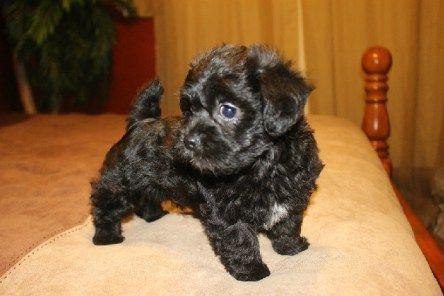 Shorkie Poo Animals Poodle Pup