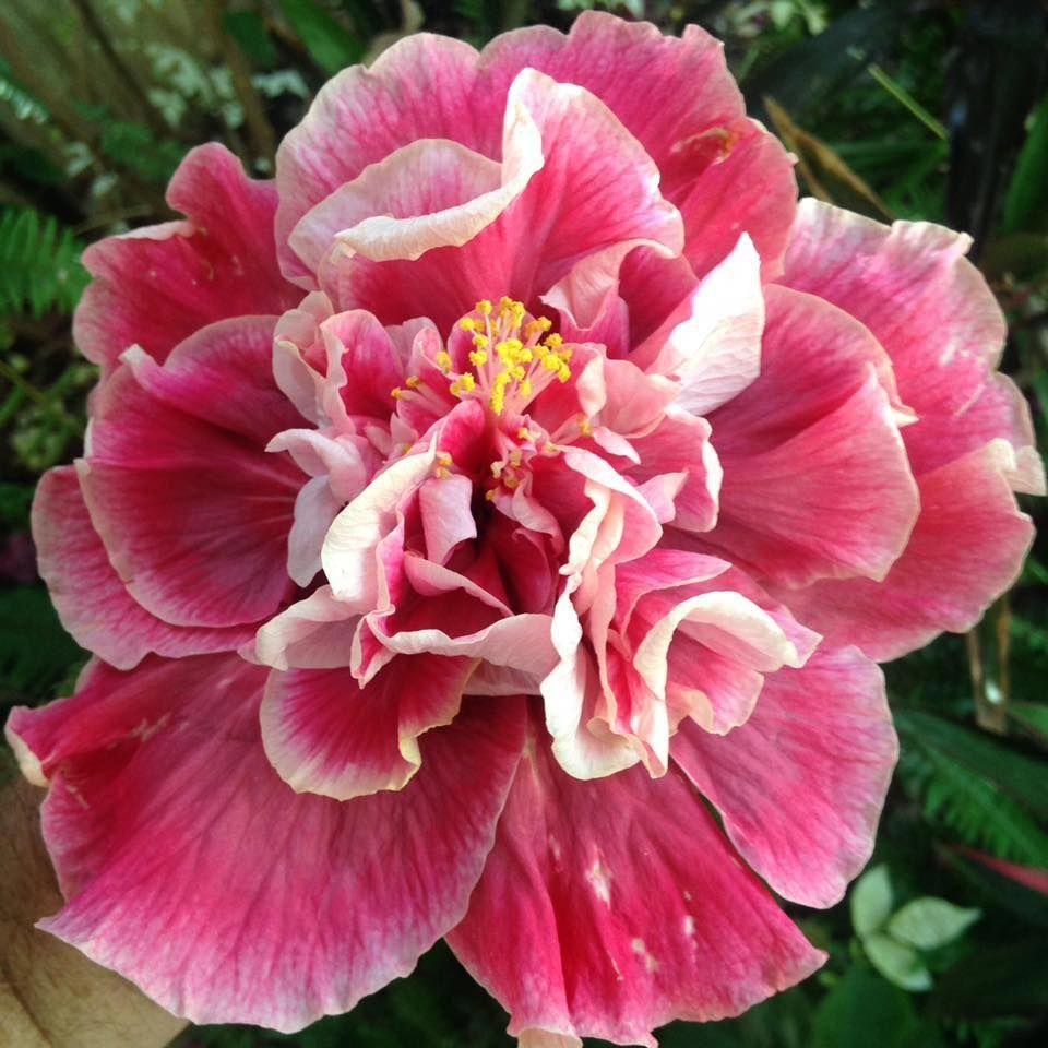hibiscus flower benefits in hindi Hibiscus Hibiscus