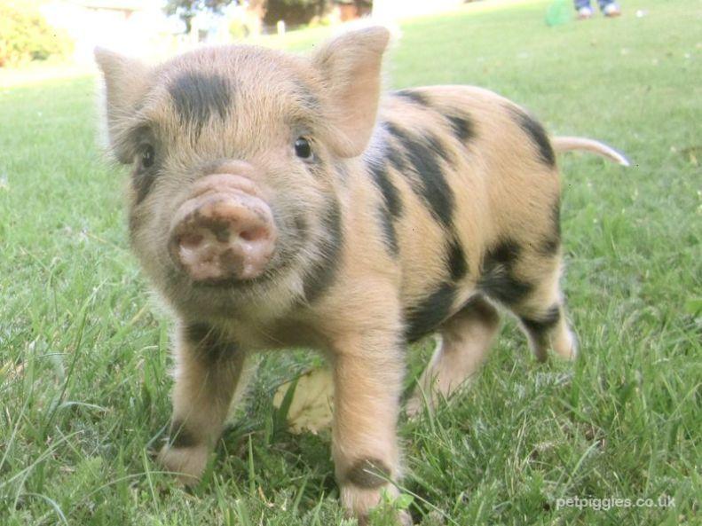 Astounding Pigs For Sale Craigslist Facebook Pet Pigs Cute Baby Animals Cute Animals