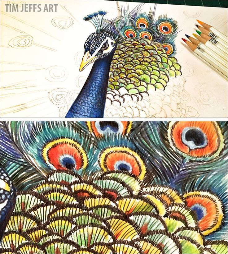 Peacock illustration by @timjeffsart using @tombowusa Irojiten Colored Pencils