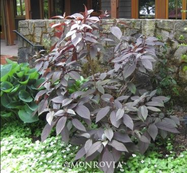 Monrovia's Plum Passion® Hydrangea details and information. Learn more about Monrovia plants and best practices for best possible plant performance.