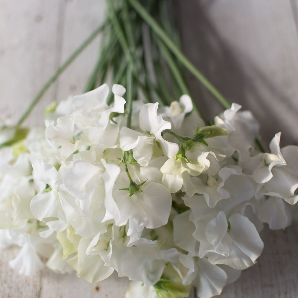 Sweet Pea White Supreme Flower