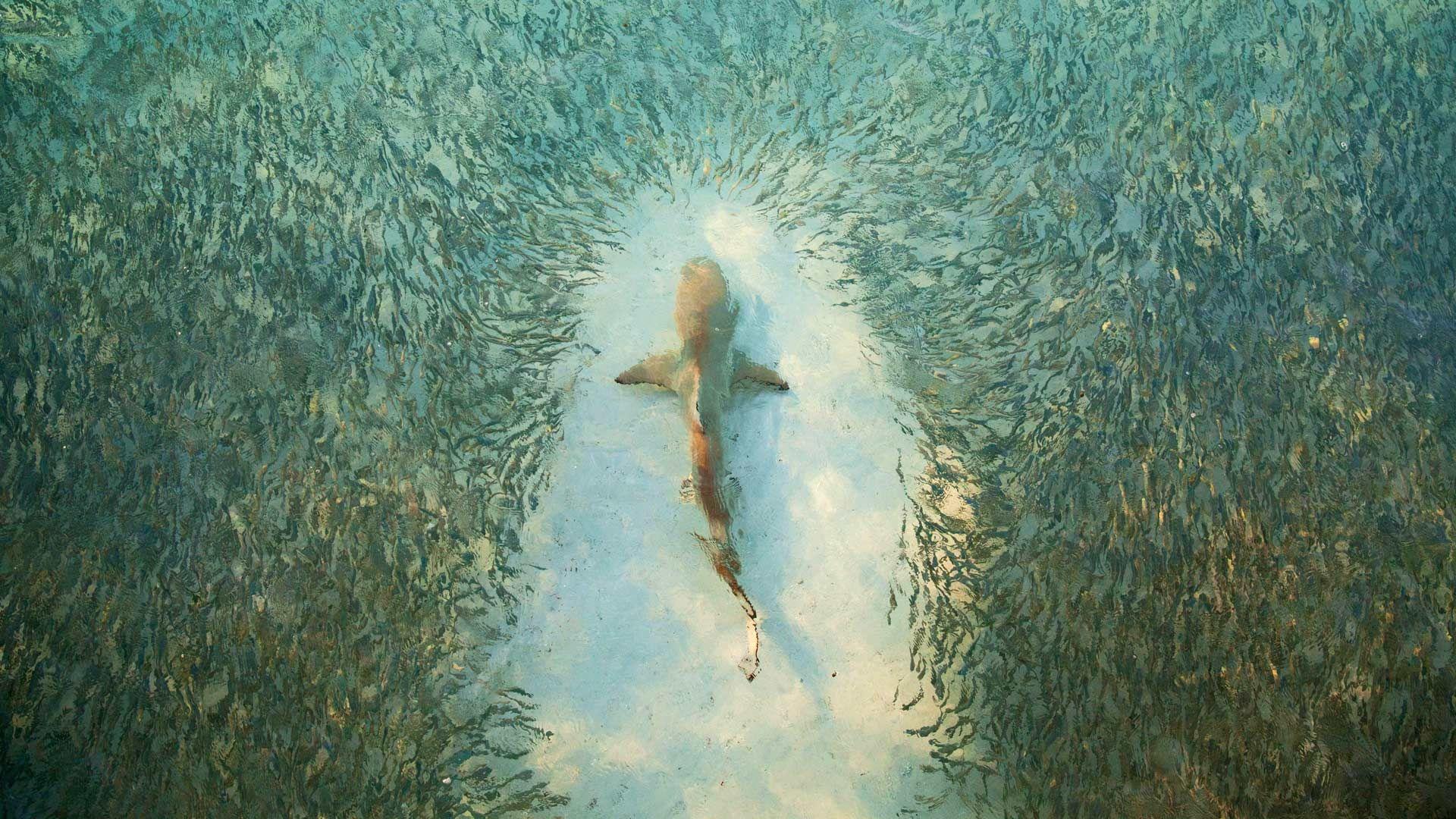 Fish avoid a shark near Heron Island, Australia (© Scott