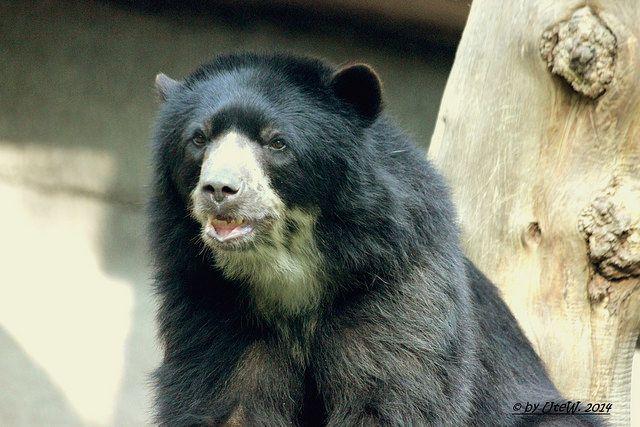 Brillenbär/Spectacled Bear | Flickr - Photo Sharing!
