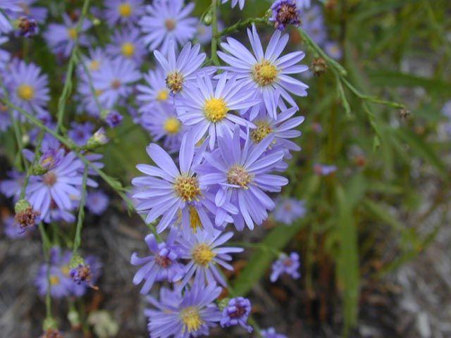 Aster Azureus Sky Blue Aster Native Plant Landscape Ohio Flowers Native Plant Gardening