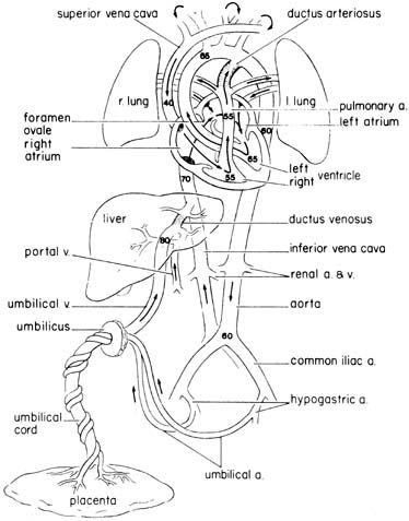 Human Fetal Circulation Heart Circulation Arteries Anatomy Fetal