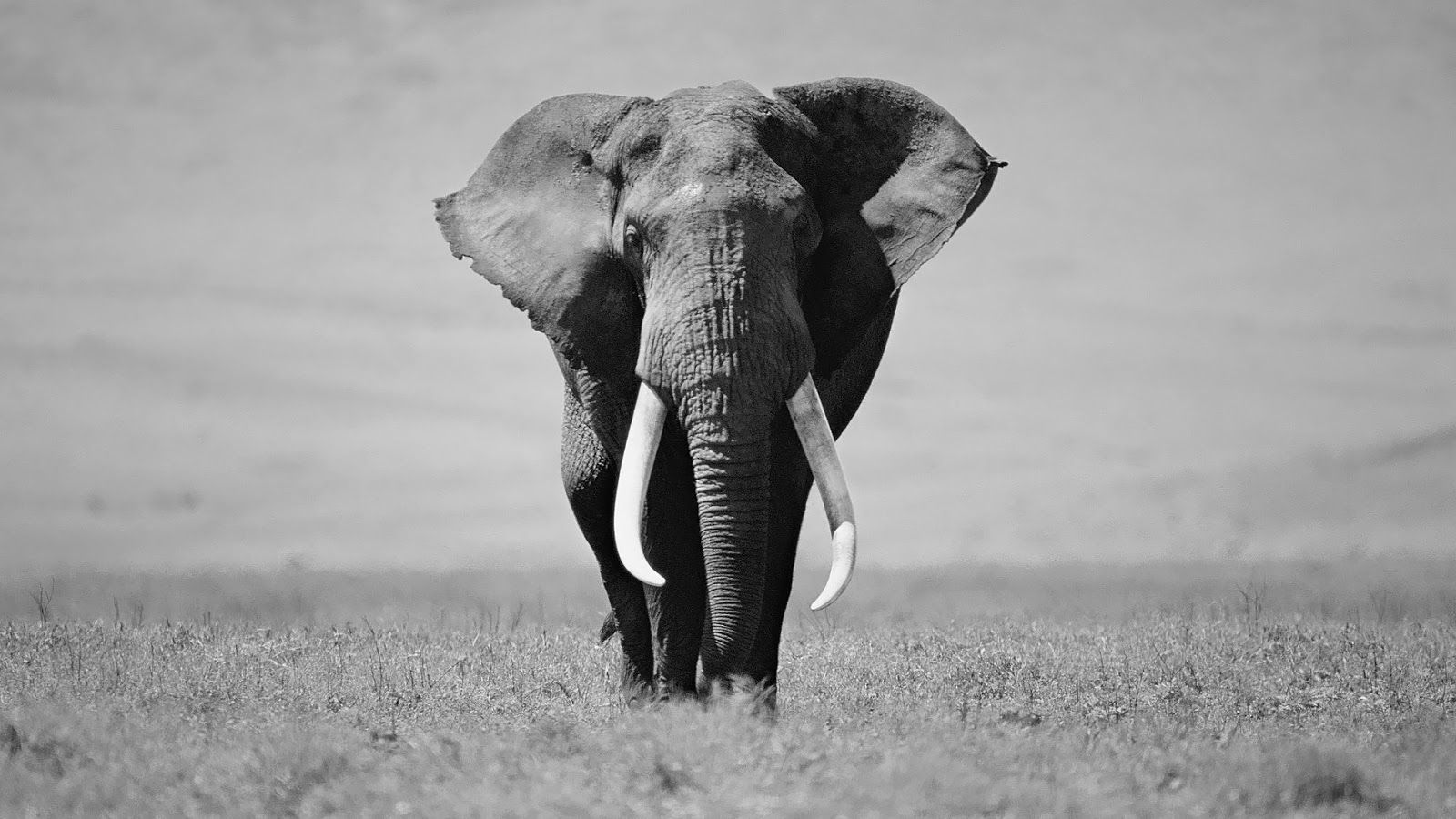 Black and white elephant wallpaper HD Animals Wallpapers