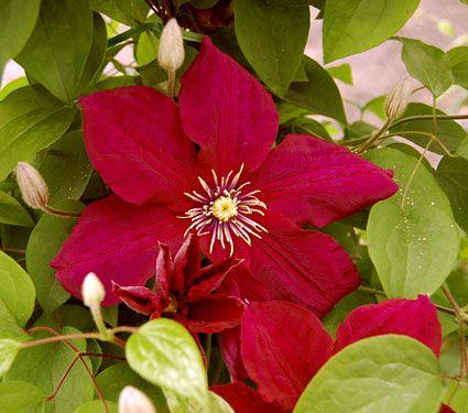 Clematis rosemoor gardini white flower farm inducedfo roses white flower farm mightylinksfo