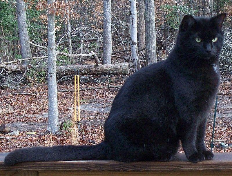 Black Cat by moxylyn.deviantart.com on @deviantART