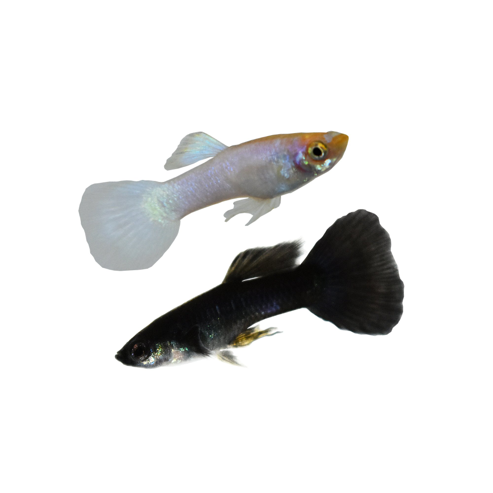 Male Yin Yang Guppys For Sale Order Online Petco Guppy Guppy Fish Petco