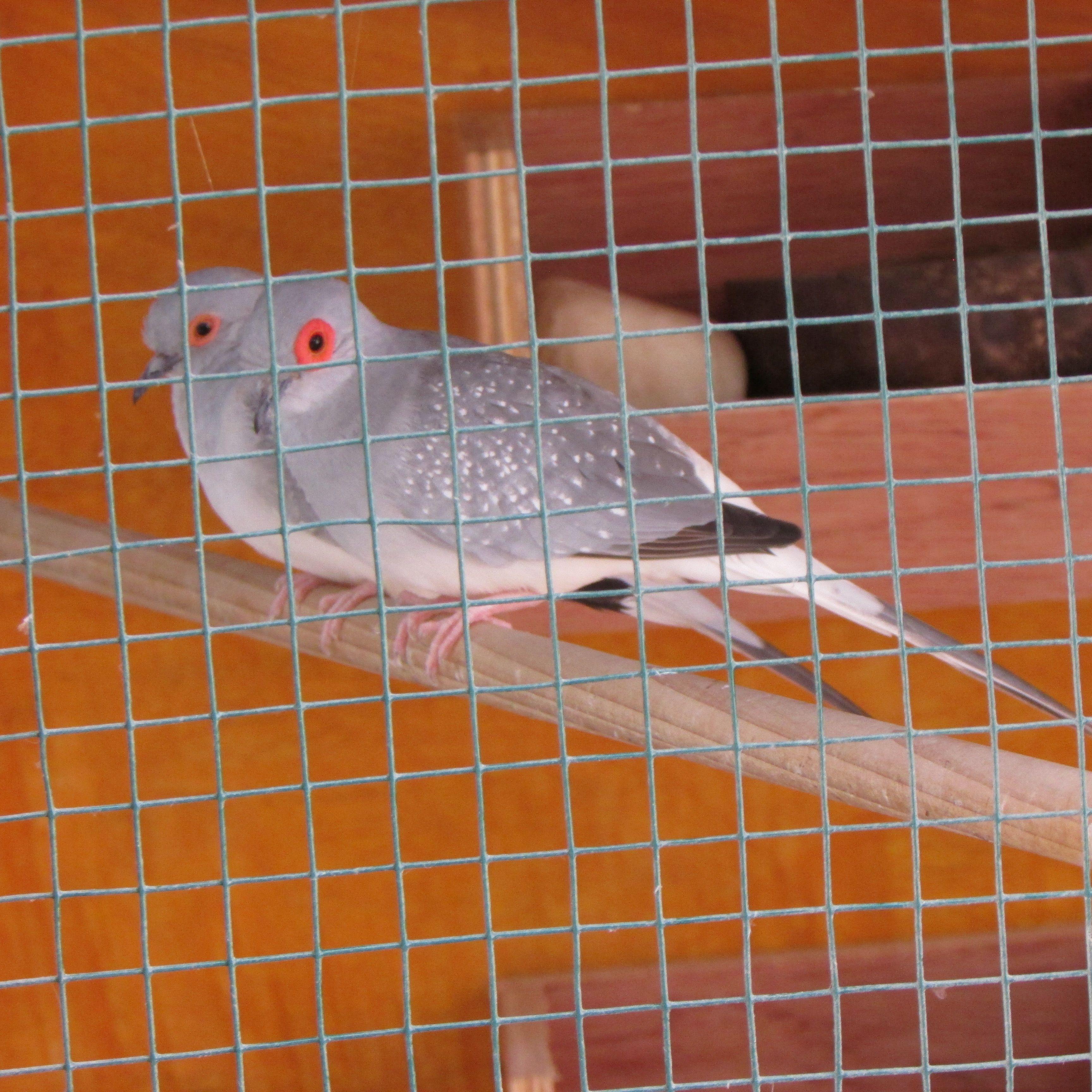 Diamante Blue White Rump Male Diamond Dove In Front And Luna