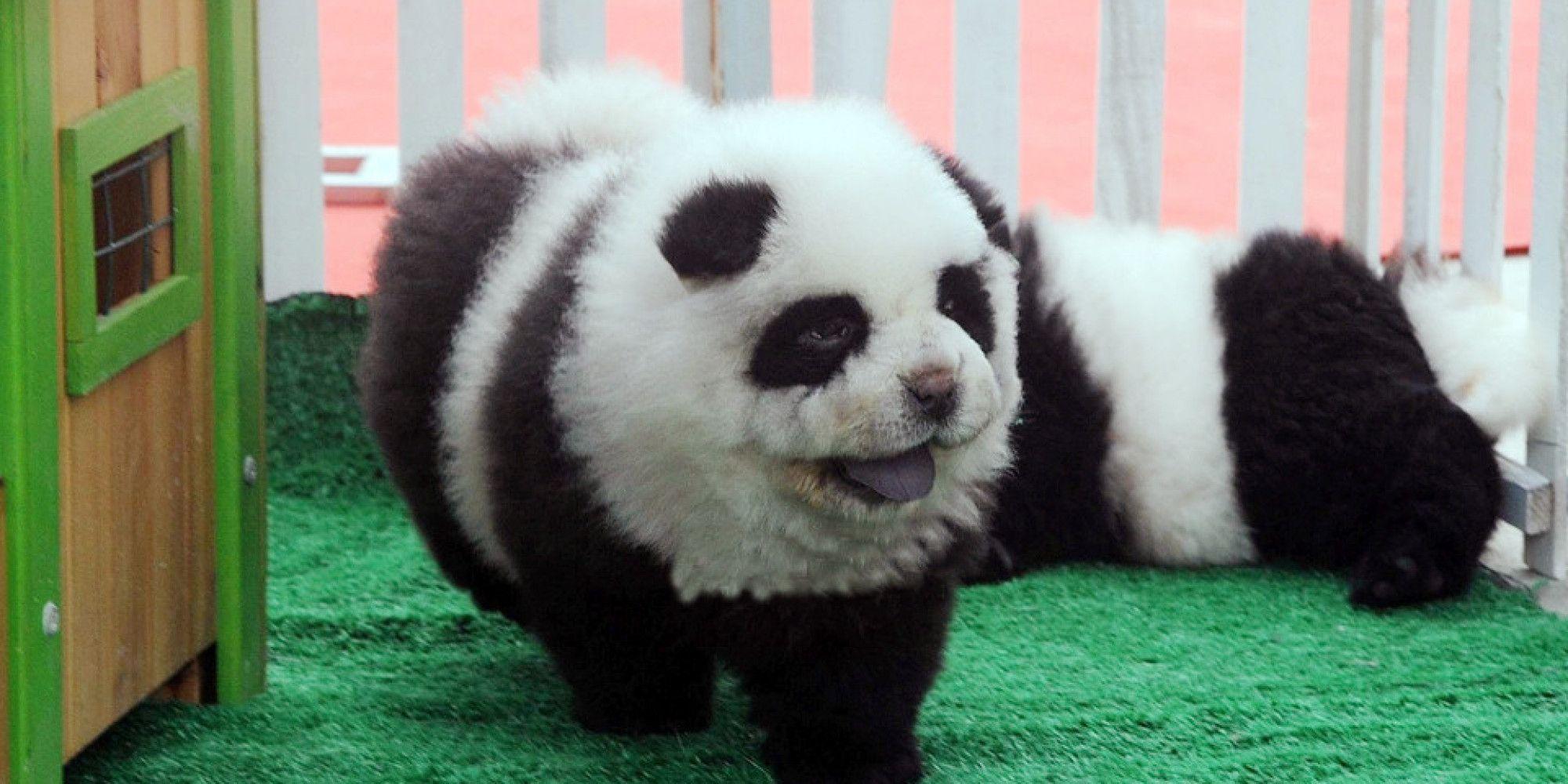 Look Panda Dogs Are The New Regular Dogs Panda Puppy Panda Dog