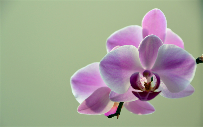 Download Wallpapers Pink Orchids Tropical Flowers Green Background Branch Orchid Tropical Flowers Pink Orchids Orchids