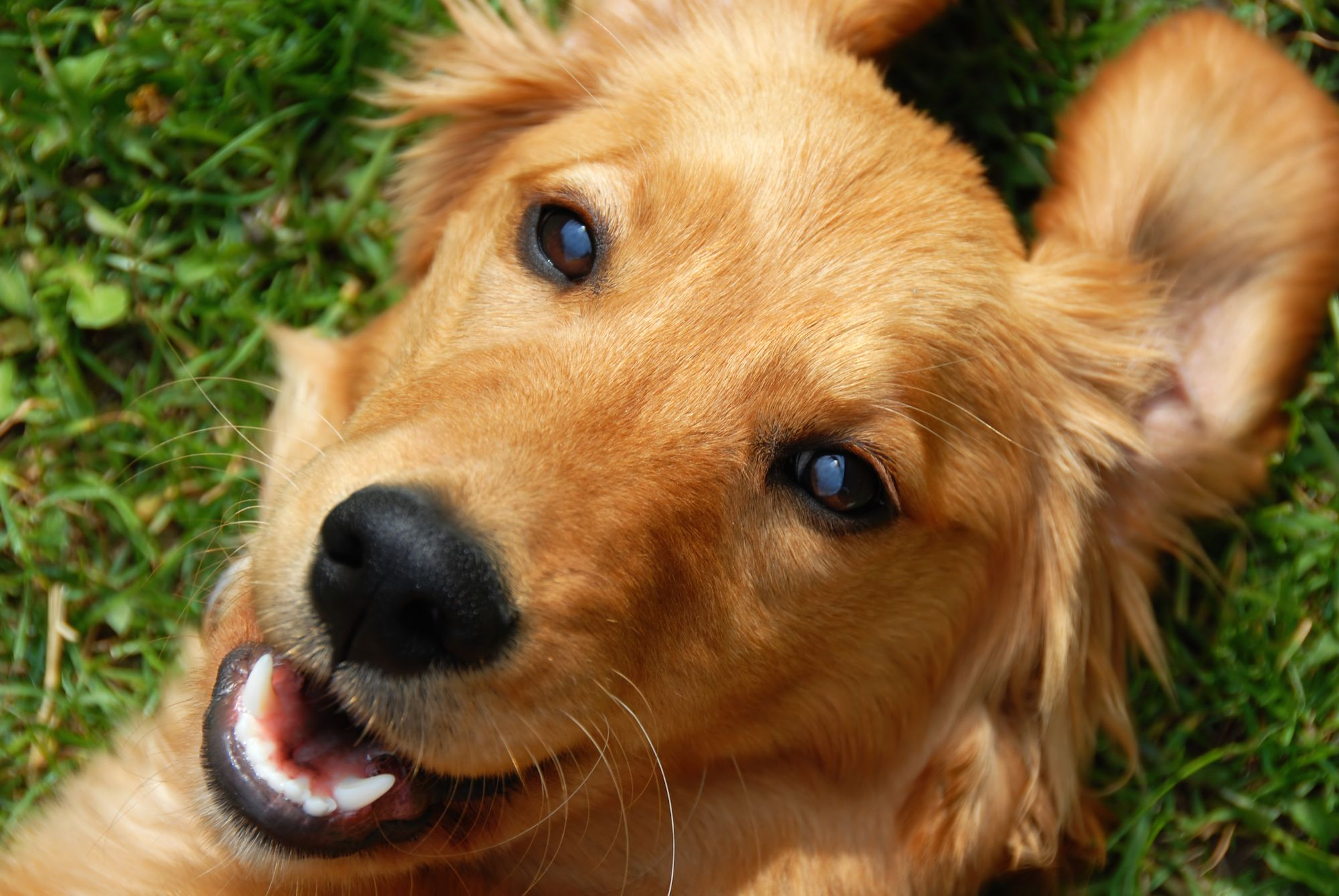 Avoiding Brucellosis And Managing An Outbreak Dogs Golden
