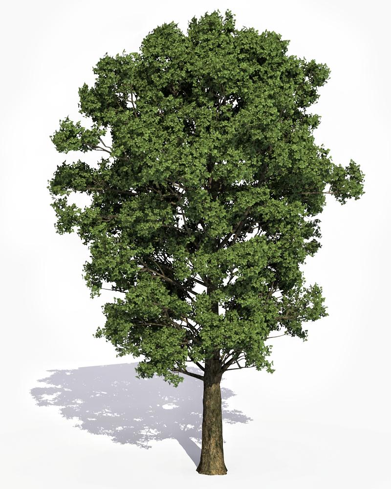 груди тополь дерево картинка для запускаете приложение