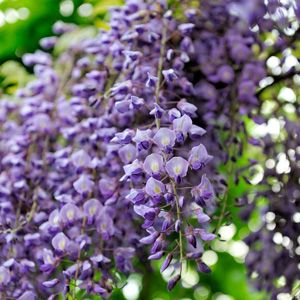 37 Common Plants That Are Poisonous To Dogs Plants Plants Poisonous To Dogs Wisteria Plant