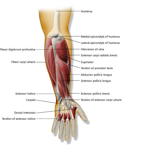 Anatomy online course | www.iaeeperth2012.org | Pinterest | Forearm ...