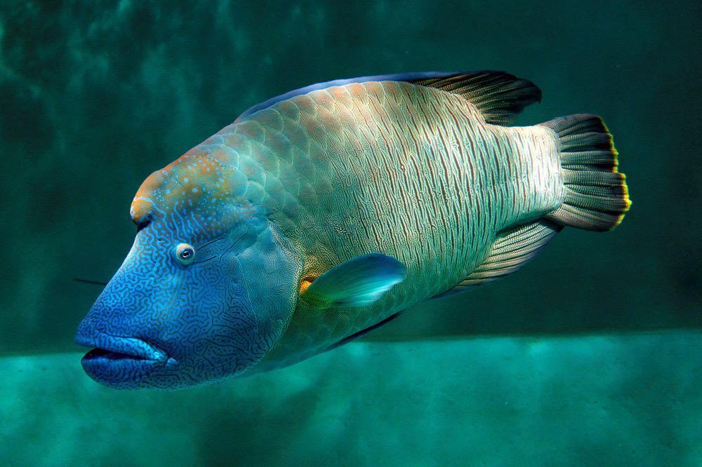 The Humphead Wrasse Sometimes Called The Napoleon Wrasse Is