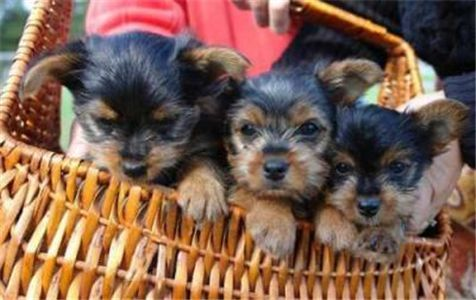 healthy tea cup yorkie puppies for adoption in Tulsa