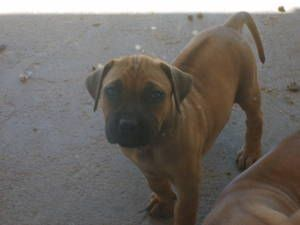 Gumtree Black Boerboel Males Registered Cute Animals