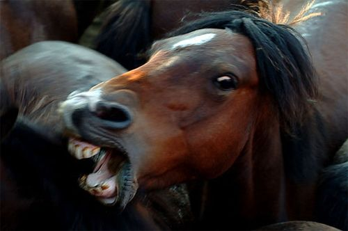 Angry Animals Google Search: Angry Horse - Google Search