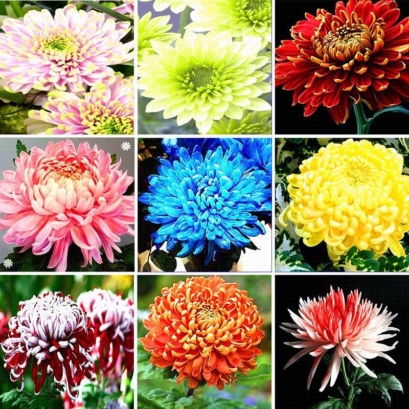 100 Pcs Bag Colorful Chrysanthemum Seeds Diy Potted Plants Family Balcony Chrysanthemum Seeds 95 Germi Chrysanthemum Seeds Rare Flowers Garden Plant Pots