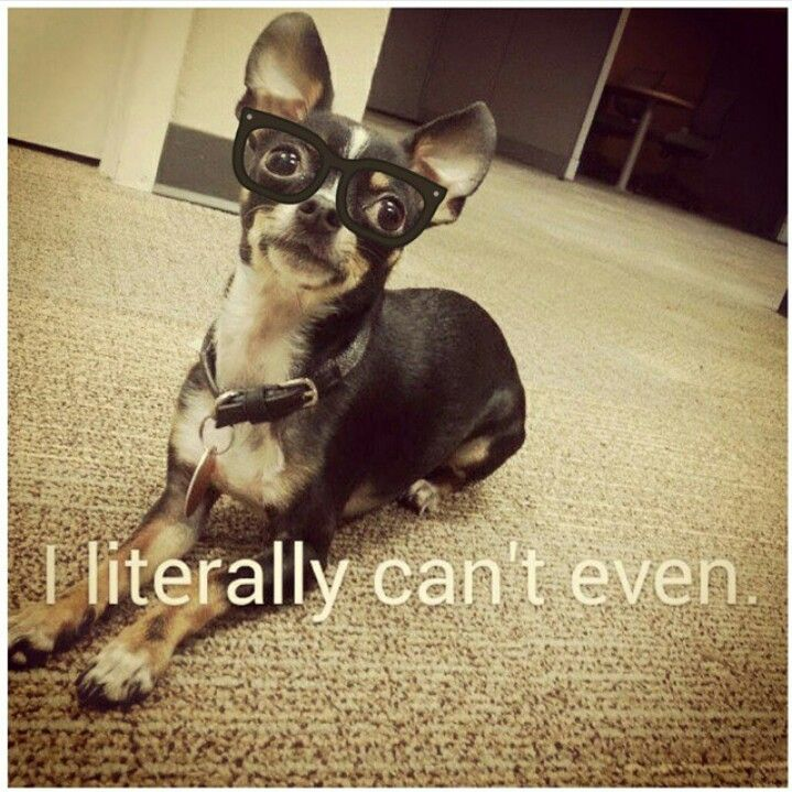 Hipster Chihuahua   Cute Animals in Costumes   Pinterest ...