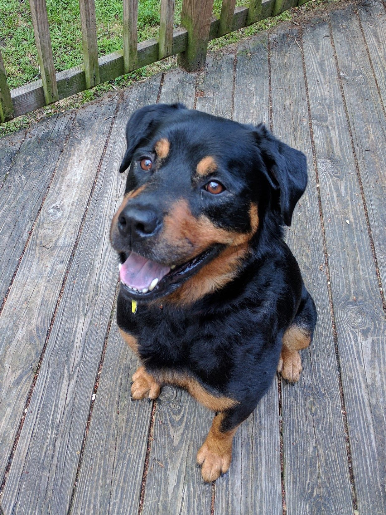 Rottweiler Dog For Adoption In White Hall Ar Adn 551204 On