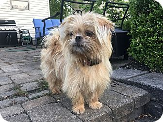 Columbus Oh Shih Tzu Cairn Terrier Mix Meet Lulubelle A Dog