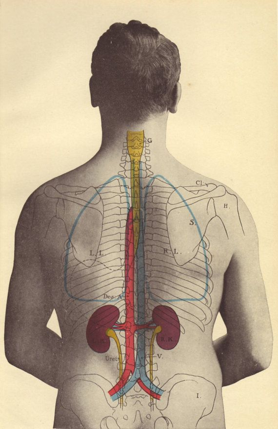 1907 Kidneys Print Human Anatomy Nephrology By Paperthesaurus