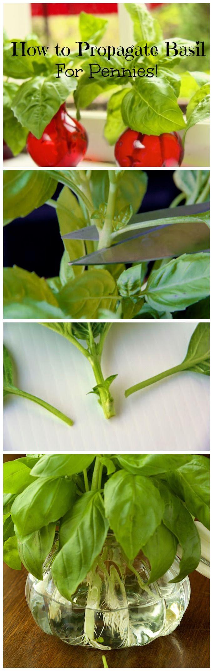 how to easily propagate basil from cuttings gardening garden edible garden herb garden. Black Bedroom Furniture Sets. Home Design Ideas