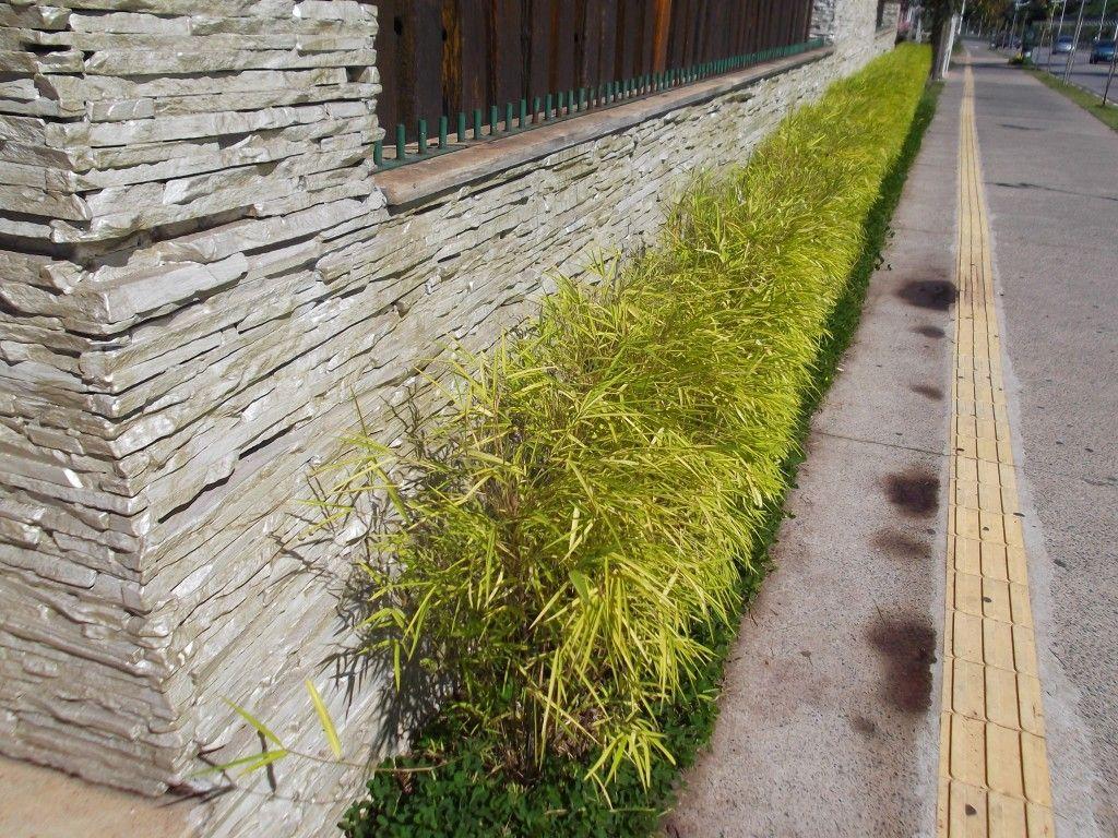 Bambuzinho-de-Jardim: A Planta Que Muda De Cor   Flores - Cultura Mix