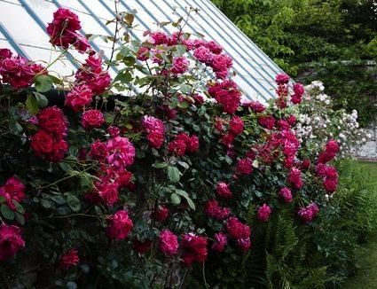 10 Hybrid Tea RosesTop 10 Hybrid Tea Roses Blenheimblenheim Rhododendron bushes are yet another classic pink that will burst into bloom every year and leave passersby sla...