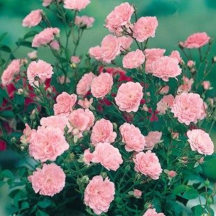 Patio Rose Pink 1 Plant Bare Root | Growing shit | Pinterest ...