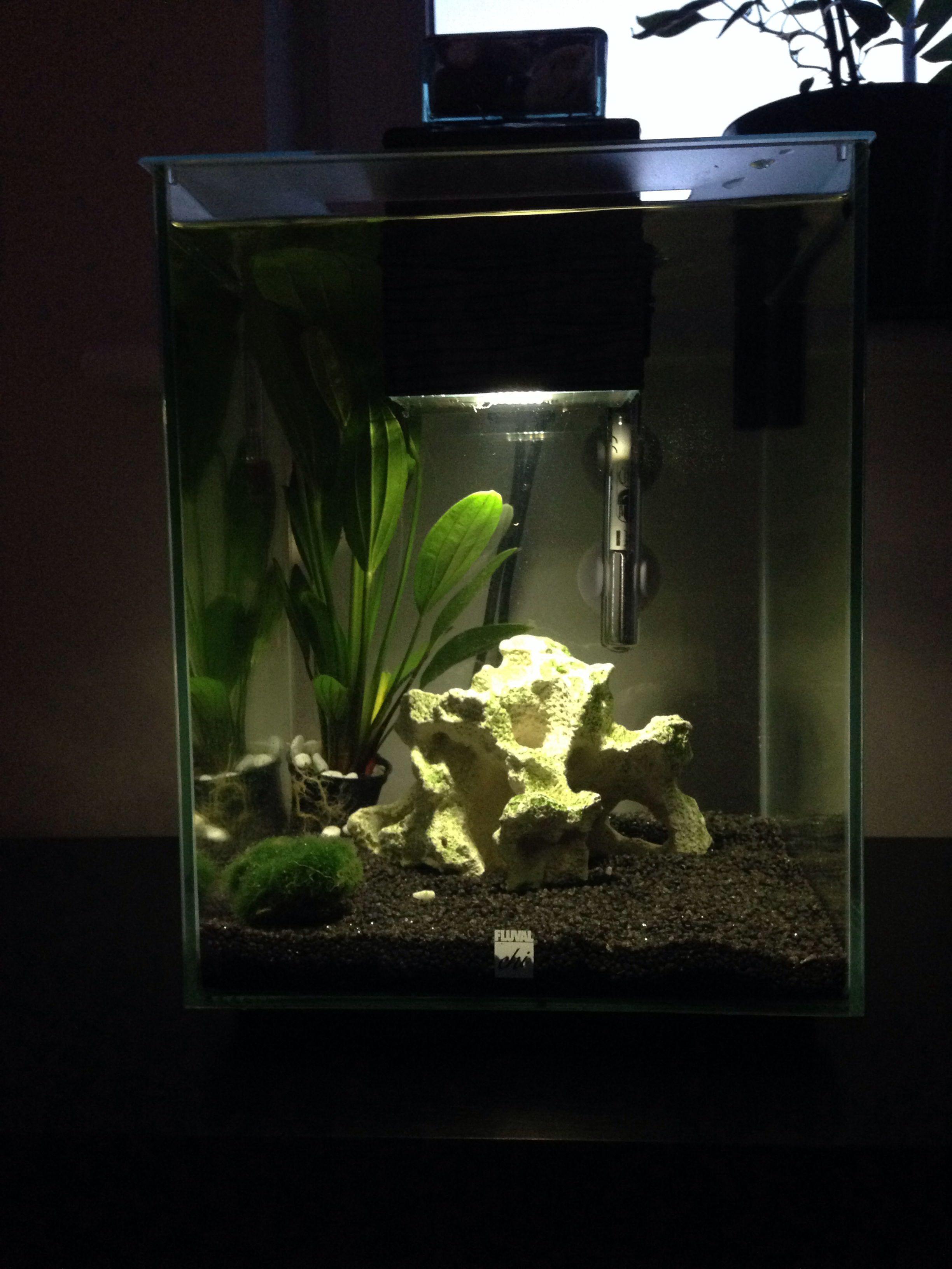 New set up for fluval chi | Aquascape, Fish tank, Aquarium
