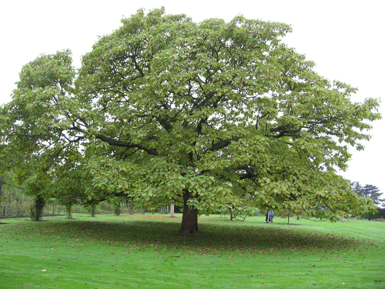 The splendid Catalpa bignonioides or Indian bean tree, are deciduous ...