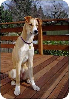 Greyhound Husky Mix Google Search Furry Friend Greyhound Pets