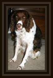 Tx Hershey Is An Adoptable Brittany Spaniel Dog In Austin Tx Hershey In Texas Is A Beautiful Older Gal A Brittany Spaniel Dogs Dog Adoption Beautiful Dogs