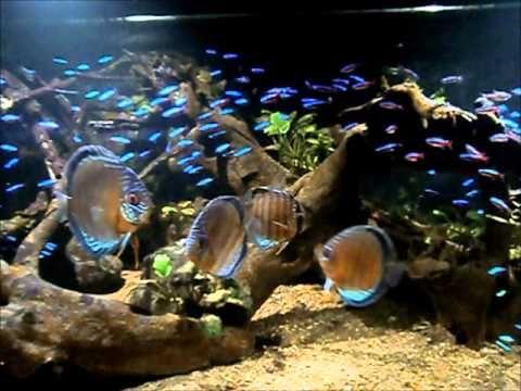 Cardinal Tetra Aquarium Paracheirodon Axelrodi Youtube Discus Aquarium Aquarium Fish Aquarium