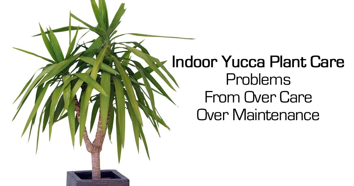 Growing Yucca Plants: Care In The Home and Garden | Yucca ...