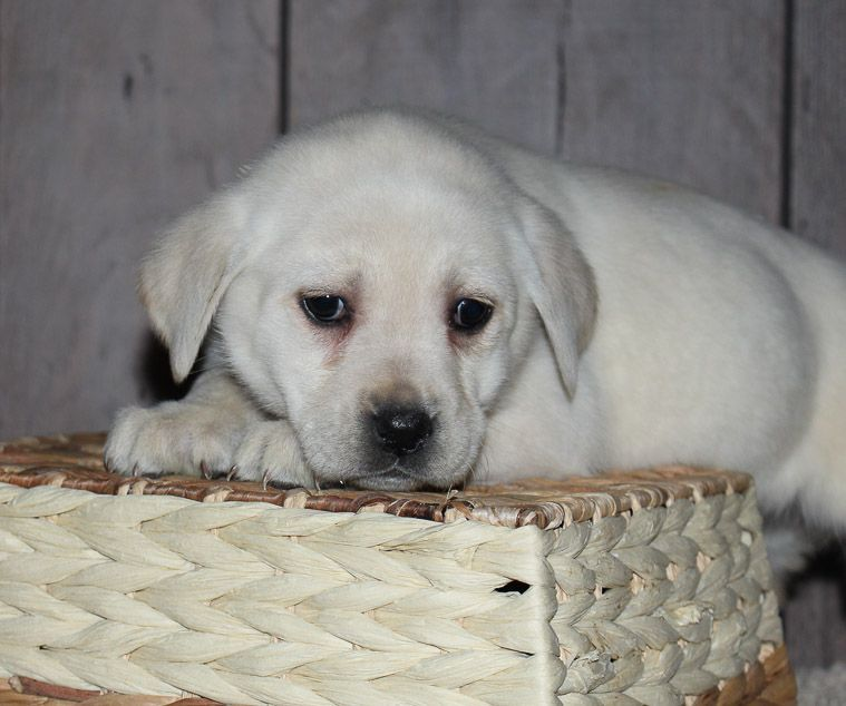 Sweetie A Calm Lab Puppy For Sale In New Haven Indiana