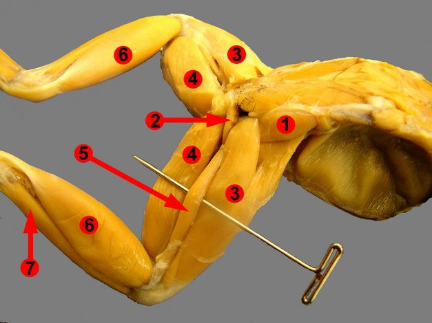 frogs and muscle on pinterest : frog leg muscle diagram - findchart.co