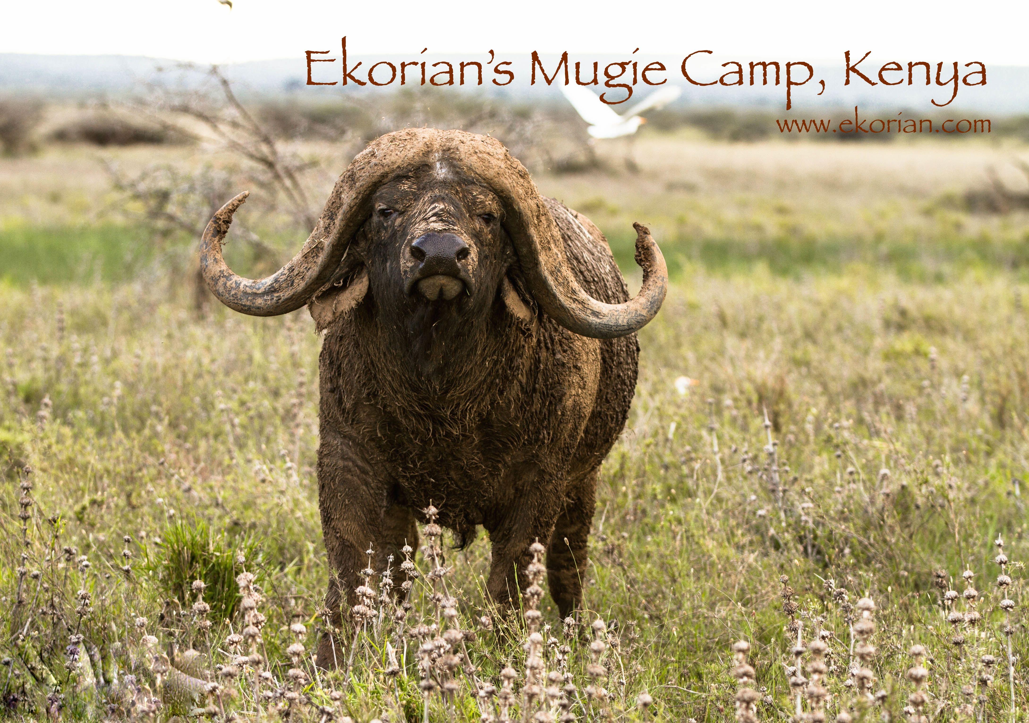 A beautiful buffalo bull www.ekorian.com